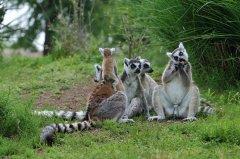 lemuri.jpg